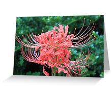 Spider Lilies Greeting Card