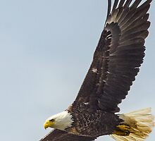 Alaskan Bald Eagle -1 by JagiShahani
