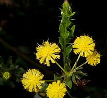 Hedge Wattle by GP1746