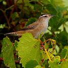 Marsh Wren by John Absher