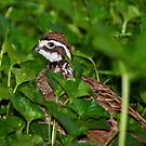Northern Bobwhite by John Absher