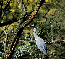 White Faced Heron by GP1746