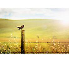 Singing Redwing Photographic Print
