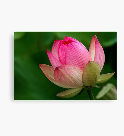 The Lotus Flower Canvas Print