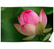 The Lotus Flower Poster
