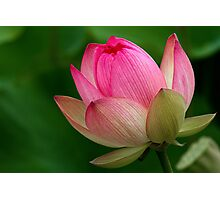 The Lotus Flower Photographic Print