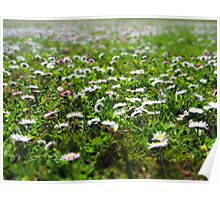 Field of daisies in spring Poster