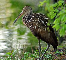 Limpkin at Lakeside by George  Link