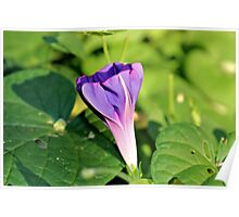 Morning Glory Shadow Poster