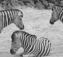 Three pretty zebras by Perggals© - Stacey Turner