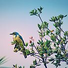 Blue Jay by Christopher Burton