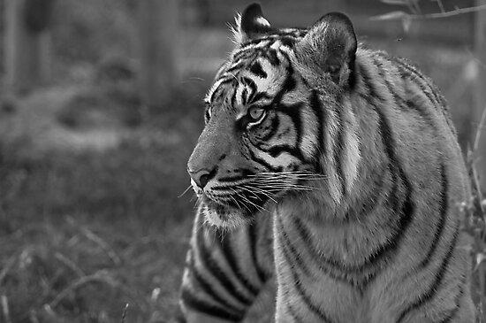 Sumatran Tiger by JMChown