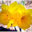 Daffodil Double by George Petrovsky