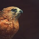 Portrait of a Hawk by Christopher Burton
