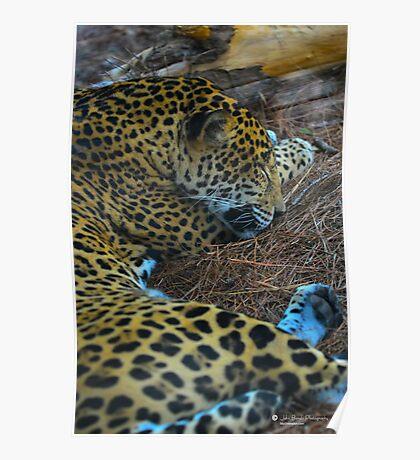 Sleeping Jaguar Poster