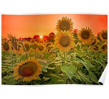 Orange Tint Sunflowers at Sunset Poster