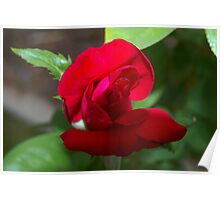 Budding, very red rose Poster