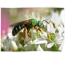 Sweat Bee On White Flowers Poster