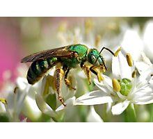 Sweat Bee On White Flowers Photographic Print