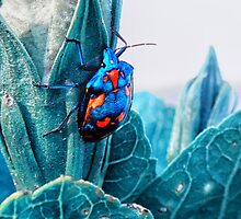 Cotton Harlequin Bug by © Karin Taylor