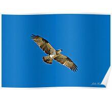 Osprey, Pandion Haliaetus Poster