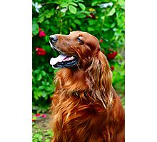 Irish Setter Photographic Print