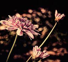 pink daisies by © Karin  Taylor