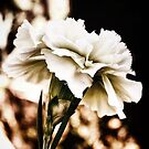 white carnation by Karin  Taylor