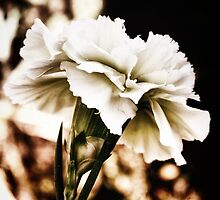 white carnation by © Karin  Taylor