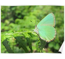 Green Hairstreak Butterfly Poster