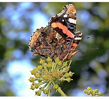 Red Admiral  Photographic Print