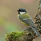 Great Tit (Parus major) by Peter Wiggerman