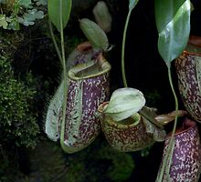 Pitcher plant inside the National Orchid Garden in Singapore by ashishagarwal74