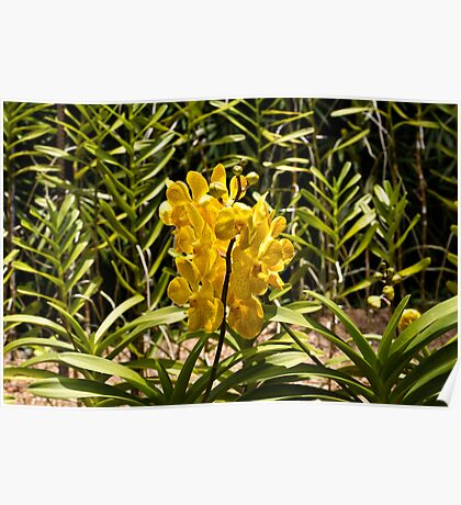 Beautiful yellow flowers inside the National Orchid Garden in Singapore Poster