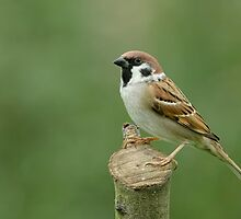Tree Sparrow (Passer montanus) by Peter Wiggerman