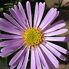 Heart of Gold - Aster Untouched by BlueMoonRose