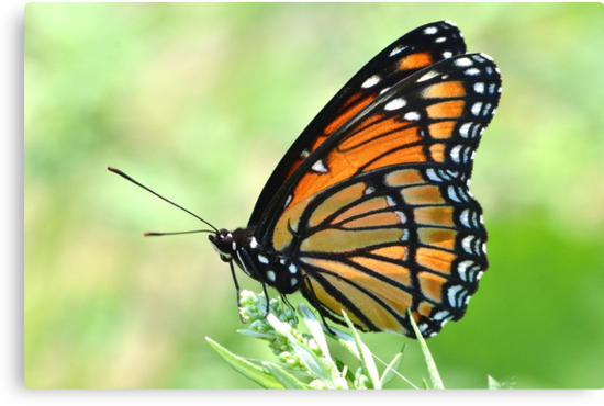 Viceroy Butterfly by William Brennan