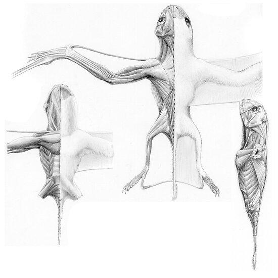 Anurognath Muscle Study by Jaime Headden