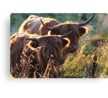 Highland Cattle at dusk Canvas Print