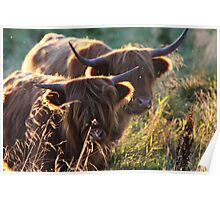 Highland Cattle at dusk Poster