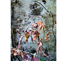 Withered Beauties Photographic Print