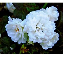 Governor General's Roses Photographic Print