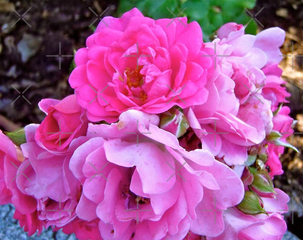 Governor General's Roses 19 by Shulie1