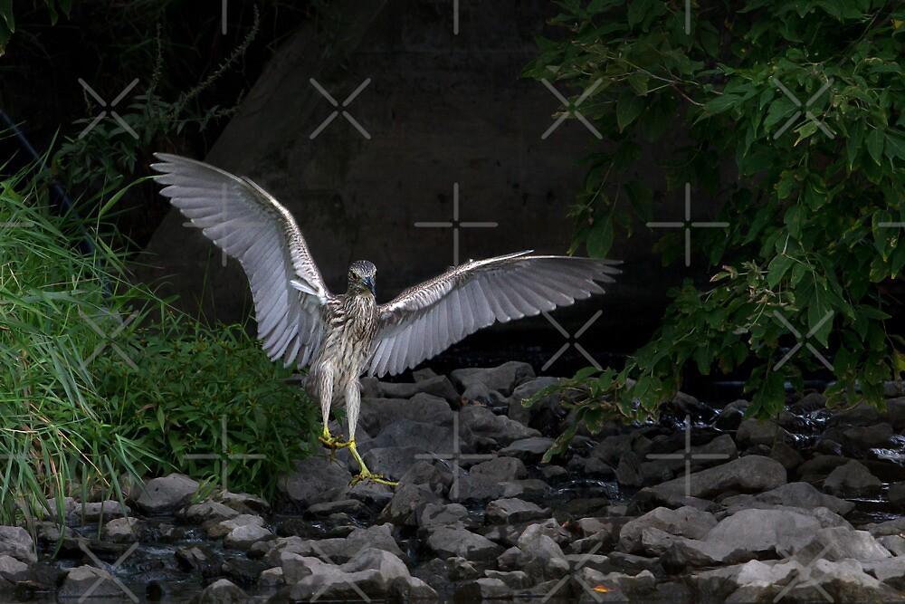 'Night Heron'...Superheron! or Superhero? by Jim Cumming