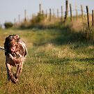 Brown Roan Italian Spinone in Action by heidiannemorris