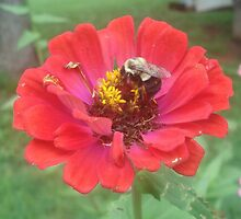 Bumble Bee on Zinnia by Tracy W. Smith