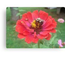 Bumble Bee on Zinnia Canvas Print