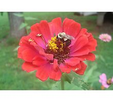 Bumble Bee on Zinnia Photographic Print