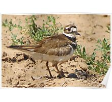 Killdeer & Chicks Poster