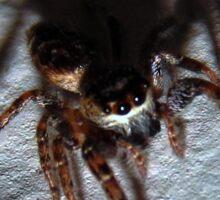 Jumping Spider (6325) Sticker